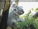 Koala Ausguck