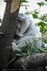 Koala döst