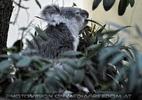 Koala frisst