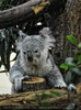 Koala Kletterei