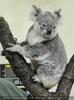 Koala muss warten