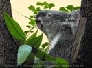 Koala schmatzt Eukalyptus