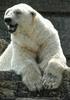 Lachender Eisbär