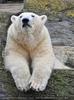 Müder Eisbär