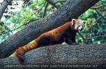 Neugieriger roter Panda