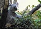 Ola Koala
