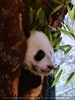 Panda Baby 02