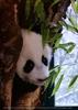 Panda Baby 03