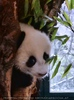 Panda Baby 05