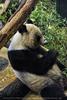Panda Mama frisst