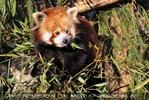 Rote Panda Fütterung 01