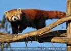 Rote Panda Fütterung 02