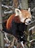 Rote Panda Fütterung 05