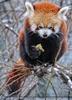 Rote Panda Fütterung 06