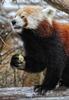 Rote Panda Fütterung 11