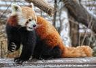 Rote Panda Fütterung 12