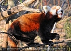 Rote Panda Fütterung 15