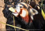 Rote Panda Fütterung 16
