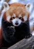 Rote Panda Fütterung 2