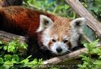 Rote Pandas 01