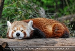 Rote Pandas 02