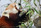 Rote Pandas 06