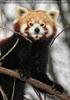 Rote Pandas 07