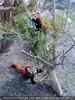 Rote Pandas 1