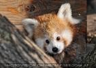 Rote Pandas 13
