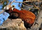 Rote Pandas 18