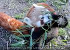 Rote Pandas 2