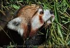 Rote Pandas 20