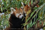 Rote Pandas 23
