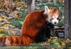 Rote Pandas 27