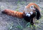 Rote Pandas 3