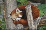 Roter dösender Panda