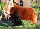 Roter Panda 09