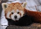 Roter Panda 6