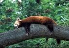 Roter Panda ausgestreckt