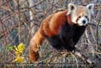Roter Panda balanciert