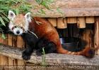 Roter Panda beim Futterhaus