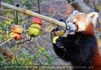 Roter Panda und die Kiwi