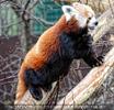 Roter Panda einem Baum