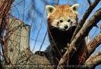 Roter Panda frech
