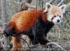Roter Panda Fütterung 1