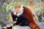 Roter Panda futtert
