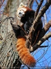 Roter Panda kratzt sich
