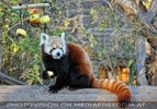 Roter Panda labt gesund