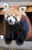Roter Panda lächelt