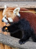 Roter Panda mit Karotte